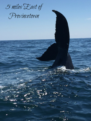 5 miles east of Provincetown: A whale's tail splashes out of the ocean.